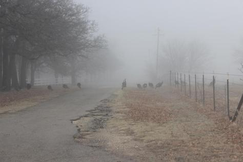 wild turkeys in fog